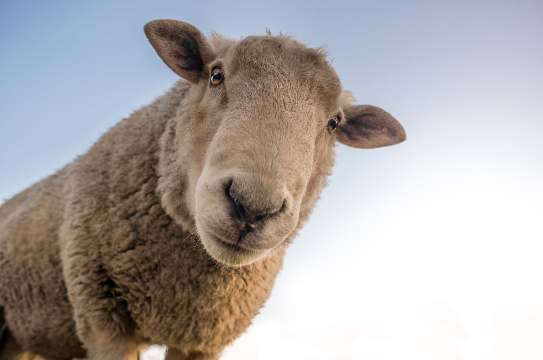 focus photo of brown sheep under blue sky