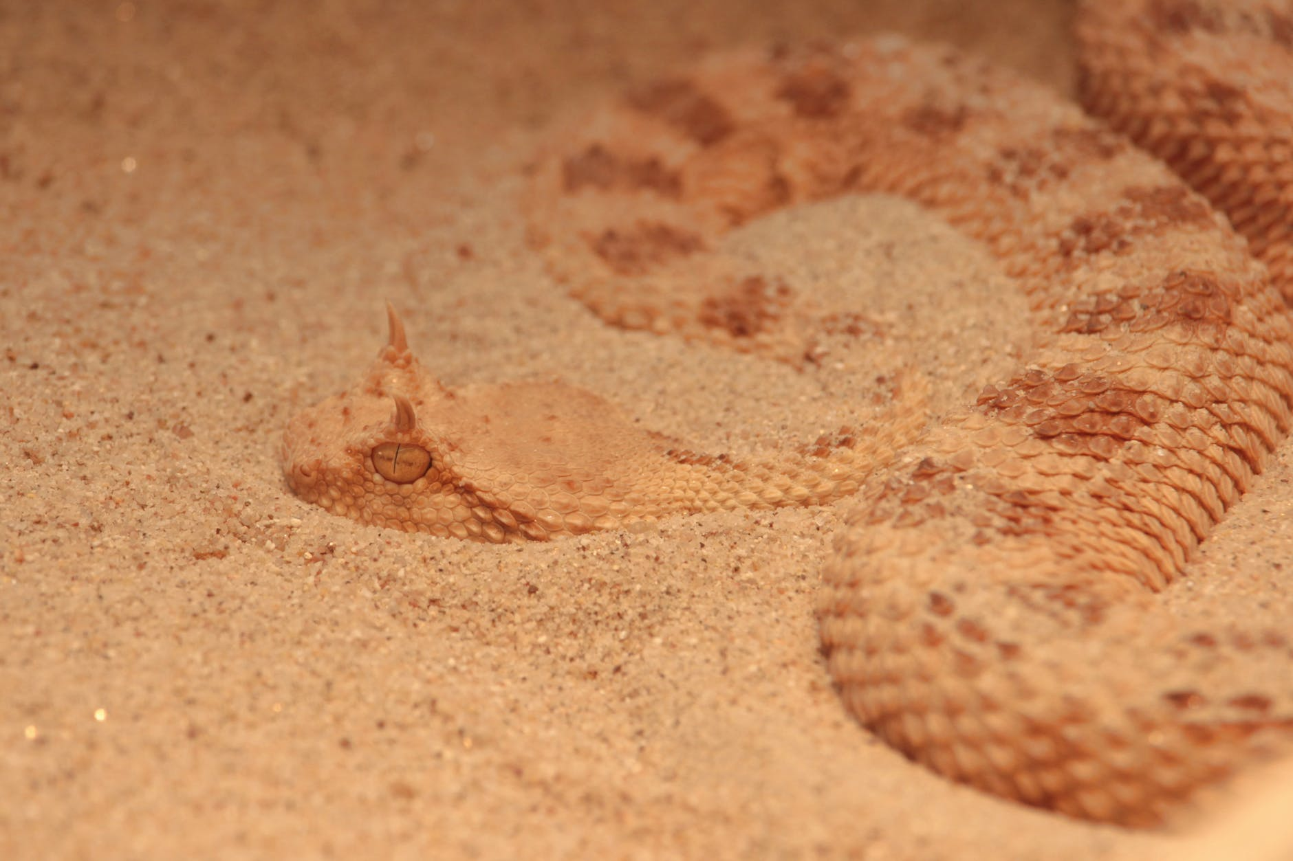 close up photo of a brown sidewinder snake on sand